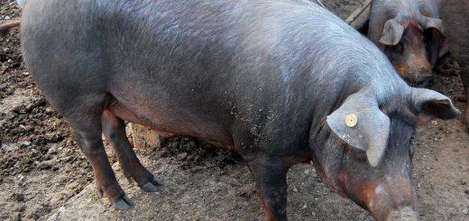 Curiosidades del cerdo ibérico. Comprar embutido.